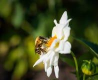 Alimentaciones de una abeja del manosear en la flor Imagen de archivo