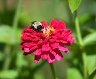 Alimentaciones de una abeja del manosear en una flor. Foto de archivo libre de regalías