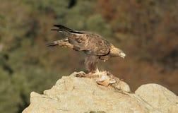 Alimentaciones del águila de oro en roca Fotografía de archivo
