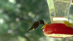 Alimentador activo del pájaro del tarareo almacen de video