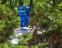 Alimentador azul 1 de Ruby Hummingbird Imagens de Stock Royalty Free