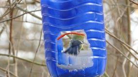 Alimentador azul para los cilios almacen de metraje de vídeo