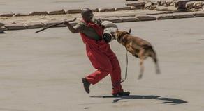 Alimentador de cão que está sendo atacado pelo belga feroz Malinois durante um programa demonstrativo Fotografia de Stock Royalty Free