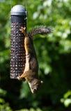 Alimentador de la ardilla y del pájaro fotografía de archivo libre de regalías