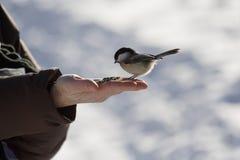 Alimentador del Chickadee Fotos de archivo