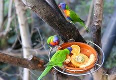Alimentador Papua Lorikeet do pássaro foto de stock