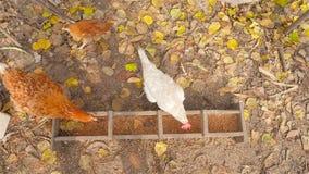 Alimentador para galinhas As galinhas comem a grão no ar livre filme