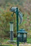 Alimentadores de invasão do pássaro do esquilo imagens de stock
