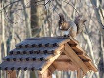Alimentadores do telhado do esquilo Imagem de Stock