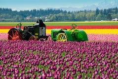Alimentadores en los tulipanes Fotografía de archivo