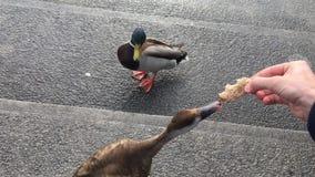 Alimentamos patos con pan en la calle almacen de metraje de vídeo