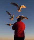 Alimentando as gaivota Foto de Stock Royalty Free