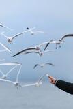 Alimentando as gaivotas Imagem de Stock Royalty Free