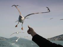 Alimentando a gaivota Imagens de Stock