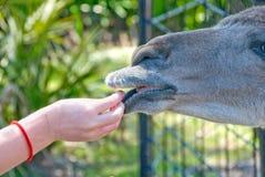 Alimentando o animal de exploração agrícola doméstico Fotos de Stock