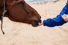 Alimentando o cavalo Fotografia de Stock