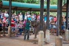 Alimentando o elefante do bebê Fotos de Stock