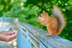 Alimentando o esquilo Imagens de Stock Royalty Free