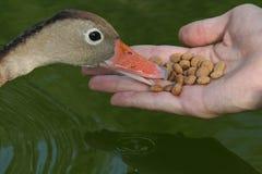 Alimentando o pato Foto de Stock