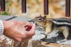 Alimentando os animais selvagens Fotografia de Stock