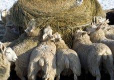 Alimentando os carneiros no inverno. Imagens de Stock Royalty Free
