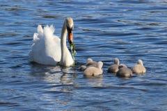 Alimentando os cisnes novos imagem de stock royalty free