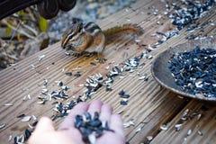 Alimentando os esquilos à terra fotos de stock