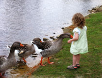 Alimentando os gansos Imagem de Stock