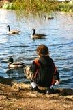 Alimentando os patos selvagens Fotos de Stock