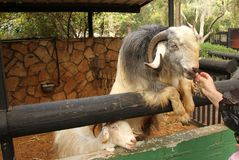 Alimentando a ram no jardim zoológico na pena fotografia de stock royalty free