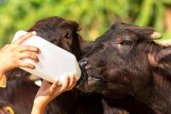 Alimentando um bebê do búfalo do murrah (búfalo de água) da garrafa foto de stock