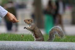 Alimentando um esquilo Fotos de Stock Royalty Free