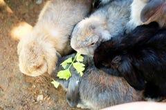 Alimentando um grupo de coelho com aipo Fotos de Stock