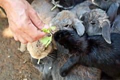 Alimentando um grupo de coelho com aipo Fotos de Stock Royalty Free