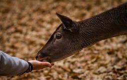 Alimentando um mamífero Fotografia de Stock