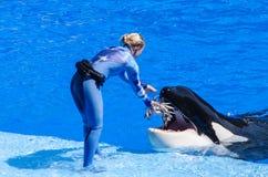 Alimentando uma baleia de assassino imagens de stock
