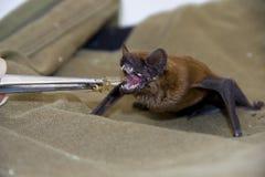Alimentando un noctule comune (noctula di Nyctalus) immagine stock
