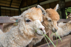 Alimentandosi a Alpaka Immagini Stock Libere da Diritti