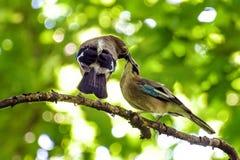 Alimentant et embrassant des oiseaux joignant sur un arbre Photo libre de droits