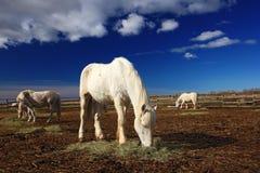 Alimentação agradável do cavalo branco no feno com os três cavalos no fundo, obscuridade - céu azul com nuvens, Camargue, França Imagem de Stock