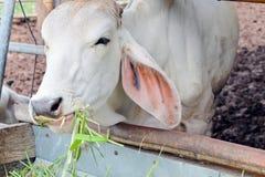 Alimentação da vaca Fotos de Stock Royalty Free