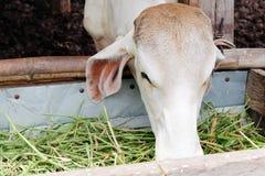 Alimentação da vaca Imagem de Stock