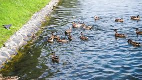 Alimentar ducks com pão no lago no parque da cidade video estoque