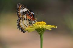 Alimentarsi della farfalla di monarca di migrazione zinnia gialla luminosa Immagini Stock