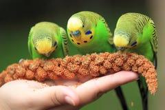 Alimentarsi i pappagallini ondulati Fotografie Stock