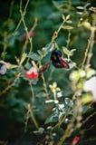 Alimentation abeillère de charpentier sur une fleur images libres de droits