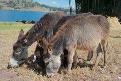 Alimentation adorable mignonne de trois ânes image stock
