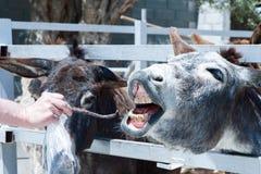 Alimentation d'âne Photo libre de droits