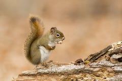 Alimentation d'écureuil Photographie stock