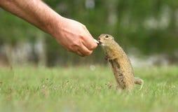 Alimentation d'écureuil moulu Photos stock